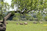 Bestiame al pascolo tra gli ulivi in Puglia.<br /> Livestock grazing past olive trees in Puglia.<br /> UPDATE IMAGES PRESS/Riccardo De Luca