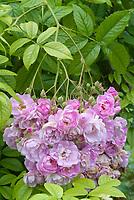 Rosa Blush Rambler roses in pink flowers