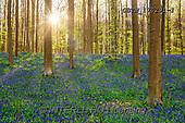 Tom Mackie, LANDSCAPES, LANDSCHAFTEN, PAISAJES, photos,+Belgium, Europe, Hallerbos, Hyacinthoides non-scripta, Tom Mackie, atmosphere, atmospheric, beech, belgian, blue, bluebell, b+luebells, brabant, european beech, fagus sylvatica, flanders, flemish, flemish brabant, flemish region, flower, flowering, fl+owers, forest, green, h non-scripta, halle, horizontal, horizontals, landscape, landscapes, morning, natural, outdoors, outsi+de, peace, peaceful, scenery, scenic, season, shadow, spring, springtime, sunburst, tranqui,Belgium, Europe, Hallerbos, Hyaci+,GBTM170291-1,#L#, EVERYDAY