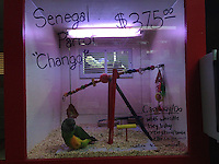 "A Senegal Parrot named ""Chango""  for sale at a pet store, Maser's Grooming and Pet Boutique, for $375.00 US,in Kenmore, Wash., in November 2013."