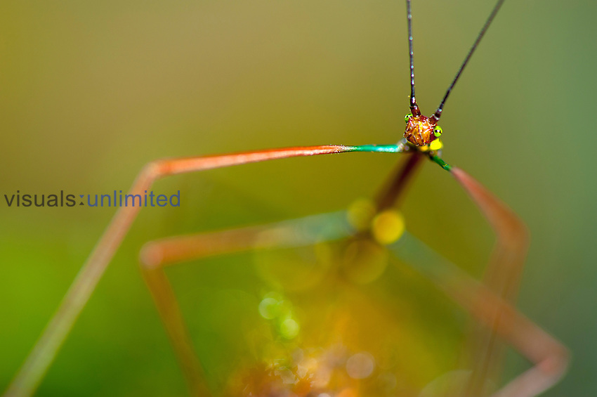 Head of a brightly colored rainforest Walking Stick, Costa Rica
