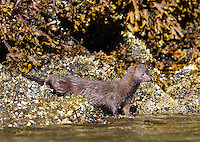 One of several mustelids found in the Great Bear Rainforest is the American mink.
