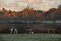 Grazing horses in a pasture with autumn colors lit by morning sunrise.
