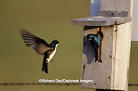 01272-00302 Tree Swallows (Tachycineta bicolor) at nest box, Audubon NWR, ND