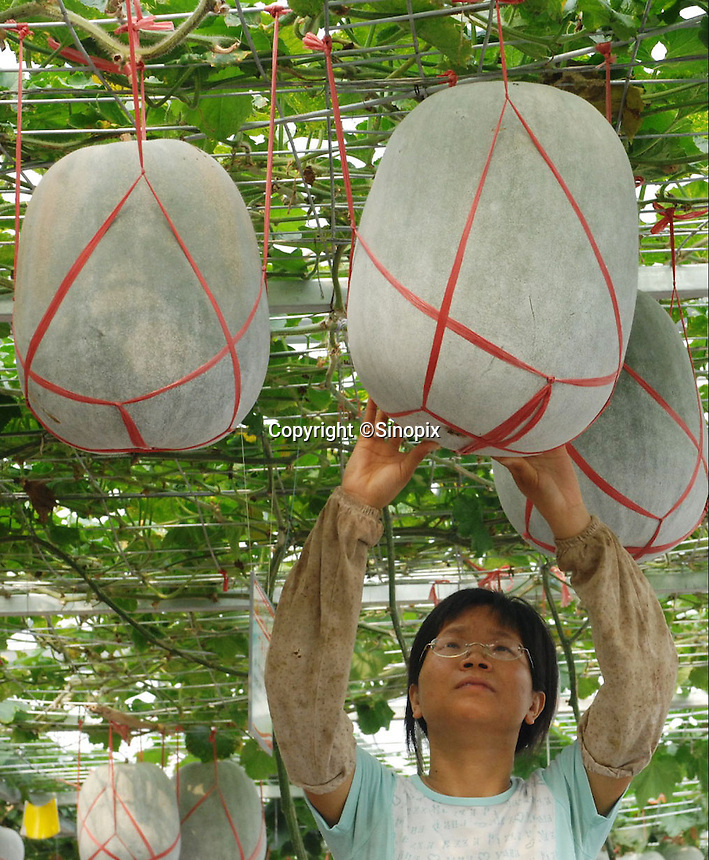 """A scientist looks at Chinese winter melons at the """"Space Breeding Exhibition Yard"""" at the Guangdong Academy of agricultural Sciences, 50 miles outside Guangzhou city. Chinese scientists claim that vegetables and fruit cultivated from the space seeds are larger, more nutritious and safe to eat...PHOTO BY SINOPIX"""