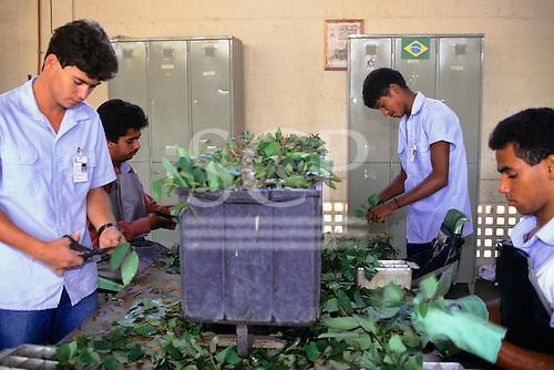 Espirito Santo State, Brazil. Aracruz workers cutting the leaves of eucalyptus tree.