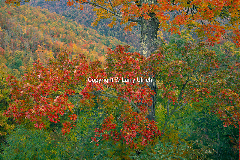 Red maple, Big Witch Gap<br />