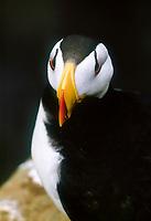 Horned puffin, (Fratercula corniculata), St George Island, Alaska