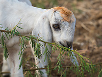young goat eating branches
