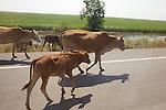 Farm Animals In Road