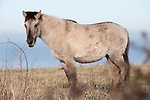 Konik Horse, Kent UK, standing, direct descendants of the Tarpan, a wild horse which was hunted to extinction, Koniks is Polish word for wild horse, winter coat, pony, introduced into wetland areas to help graze and keep reedbeds managed for conservation