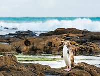 Yellow-eyed penguin, Hoiho (Megadyptes antipodes) on rock, Petrified Forest, Curio Bay, Southlands, South Island, New Zealand, Oceania