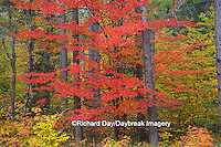 64776-01416 Red tree and fall color Schoolcraft County Upper Peninsula Michigan