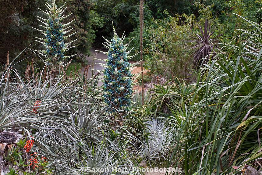 Puya alpestris, Chilean Rock Bromeliad flowering in succulent garden of San Francisco Botanical Garden
