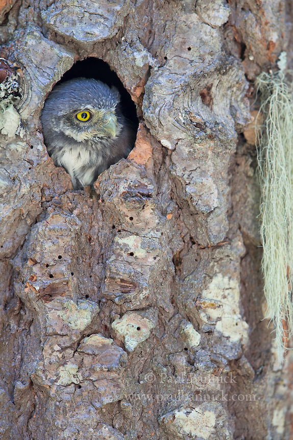 A Northern Pygmy-Owl nestling appears at the cavity entrance, two days before fledging.