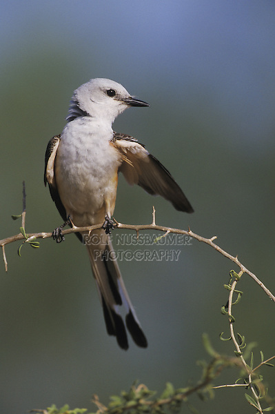 Scissor-tailed Flycatcher (Tyrannus forficatus), adult preening, Starr County, Rio Grande Valley, Texas, USA