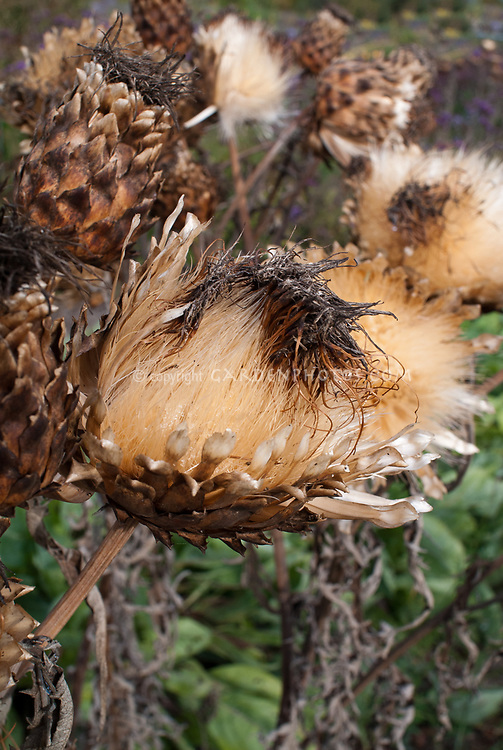 Cynara cardunculus in autumn seedheads seeds dried dry