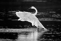 Trumpeter Swan flapping wings in river in Yellowtone National Park. Image is black and white