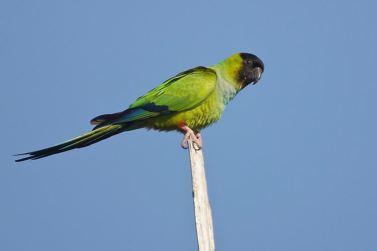 Nanday Parakeet - Aratinga nenday