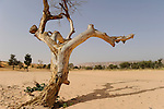 Mali Dogon Country , dying tree and desertification / Mali Dogon Land, absterbender Baum und Verwuestung der Landschaft