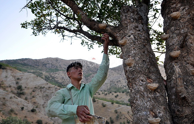 GALALA, IRAQ: Goran Abu Bakir collects tree sap from clay cups attached to trees.<br /> <br /> Bnysht, a Kurdish is chewing gum made from the sap of the Daraban tree.  The sap is only harvested during July and August for 6 weeks using clay cups to catch the liquid as it is drawn for the tree's bark.<br /> <br /> Photo by Aram Karim