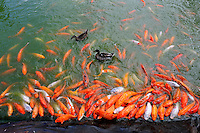 Koi fish in feeding frenzy at edge of pond.
