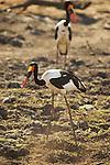 Jabiru d'Afrique ou Jabiru du Sénégal , saddle billed stork (Ephippiorhynchus senegalensis)