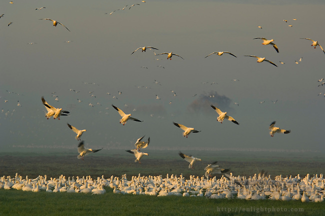 Flocks of Ross's Geese flying for landing in field in during migration, Merced National Wildlife Refuge, Central Valley, California