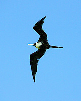 Adult female magnificent frigatebird soaring