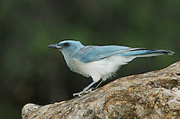 Mexican Jay, Aphelocoma ultramarina, young, Madera Canyon, Arizona, USA