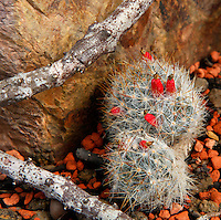 Desert and Arid Lands Glasshouse, 1930s, Jardin des Plantes, Museum National d'Histoire Naturelle, Paris, France. Detail of Mammillaria prolifera plant.