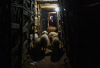 Rafah, Gaza Strip, 21 Nov 2009.It is estimated that more than 800 tunnels run under the 14km long Gaza/Egypt border; these tunnels are the only lifeline for a million and a half people since the beginning of the Israeli blockade in 2006. Sheeps and cattle are hurried under the border in preparation for the Eid al Atta celebration next week.