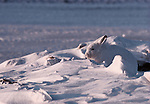 An Arctic hare blends in with its snowy environment in Nunavut, Canada