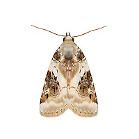 73.086 (2413a)<br /> Shining Marbled - Pseudeustrotia candidula