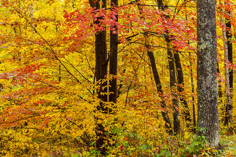 Maple and trees and forest in Fall color; Northern Highland-American Legion State Forest. Oneida County, WI