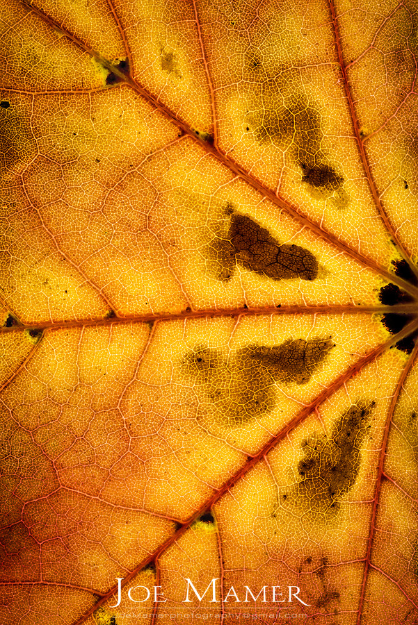 Colorful detail of an autumn maple leaf.