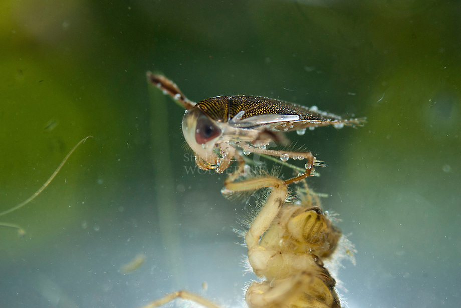 Gestippelde duikerwants (Corixa punctata)
