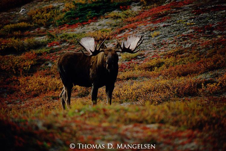 A portrait of a bull moose in Denali National Park, Alaska.