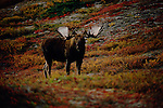 A portrait of a bull moose in Denali National Park, Alaska.