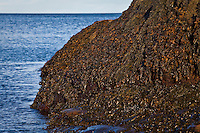 Sun sets on fucus growing on the rocky seashore of the St. Lawrence river in the Essipit Innu community in the Quebec region of Cote-Nord Thursday October 11, 2012. Fucus is a genus of brown algae found in the intertidal zones of rocky seashores almost throughout the world.