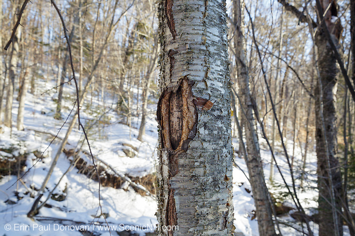January 2016 - A man-made tree wound on a yellow birch tree along the Mt Tecumseh Trail in New Hampshire. Proper protocol was ignored when a painted trail marker (blaze) was removed from this tree, and this is the ending result. This blaze was painted on the tree in 2011, and then improperly removed from the tree in the spring of 2012. The bark, where the blaze was, was cut and peeled away creating a tree wound.