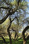 Israel, Lower Galilee, Acacia Albida trees in Nahal Tavor