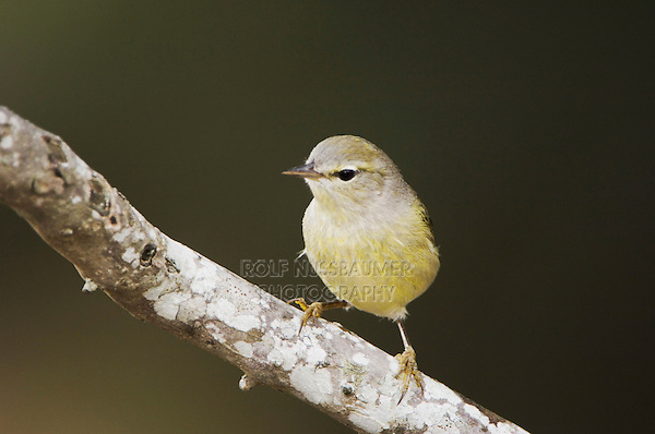 Orange-crowned Warbler, Vermivora celata, adult, Uvalde County, Hill Country, Texas, USA, April 2006