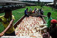 NIGERIA, Oyo State, Ibadan, loading and transport of old layer hens for sale as live chicken on markets in Lagos / Legehennenhaltung, Verladung alter Legehennen zum Verkauf als Suppenhuhn auf Maerkten in Lagos