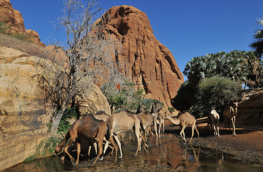 Camels drinking water in Guelta of Bachikélé