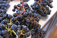 Just harvested merlot grapes showing red ripe bunch stems and green unripe stems chateau phelan segur st estephe medoc bordeaux france