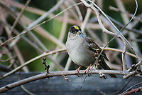 A Golden-crowned sparrow, with a glint in its eye, perched on a branch in a backyard.
