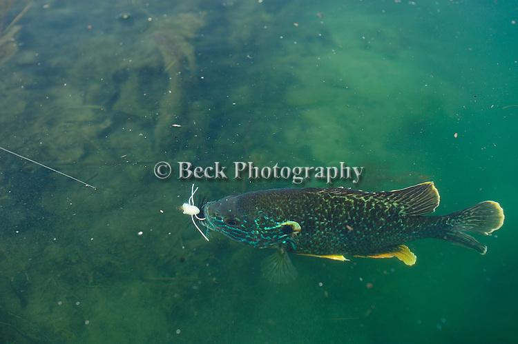UNDERWATER BLUEGILL PAN FISH