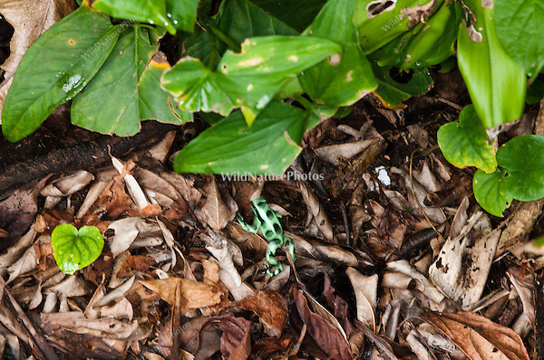 "Green and Black Poison Dart Frog (Dendrobates auratus, ""Isla Colón""), Bocas del Toro, Colon Island, Panama"