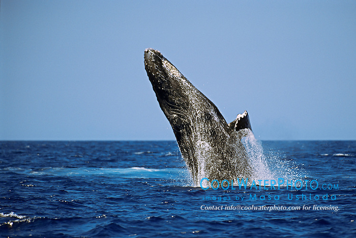 humpback whale, breaching, Megaptera novaeangliae, Hawaii, USA, Pacific Ocean
